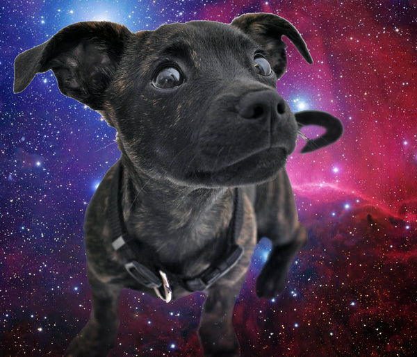 chihuahua in space
