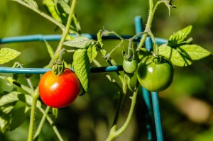 Tomatoes on the vine in the garden