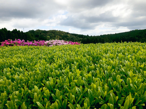 The first new tea plucking of the Reiwa era will begin soon.