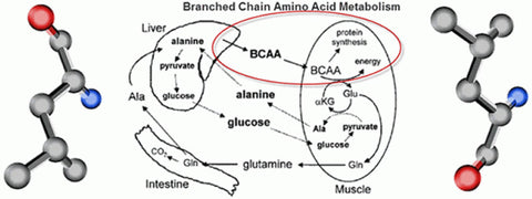BCAA's Branched Chain Amino Acids