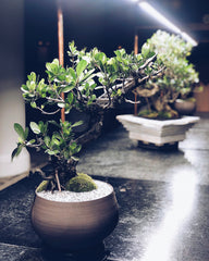 Ace Hotel Bonsai