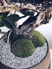 Bonsai Close Up