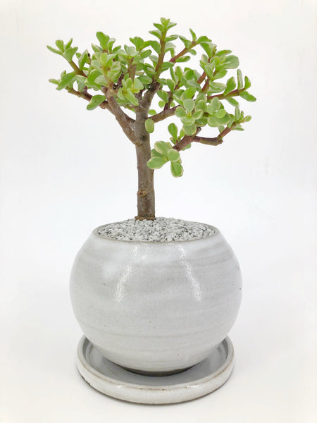 'Georgette' the Variegated Jade