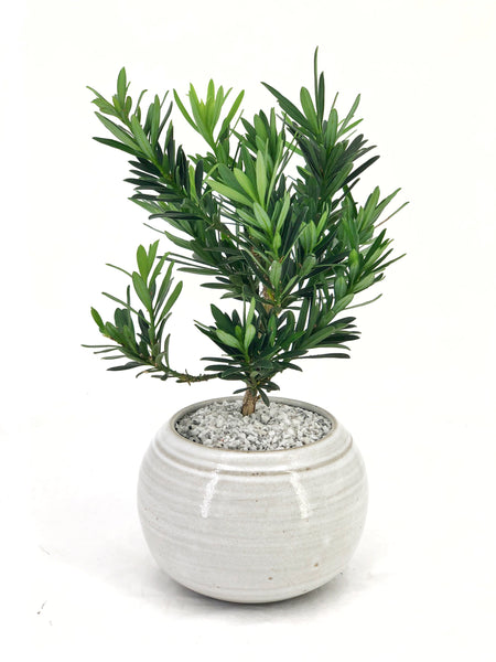 'Podrik' the Buddhist Pine