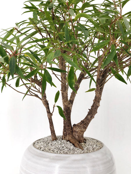 'Nora' the Willow Leaf Fig Forest - #110