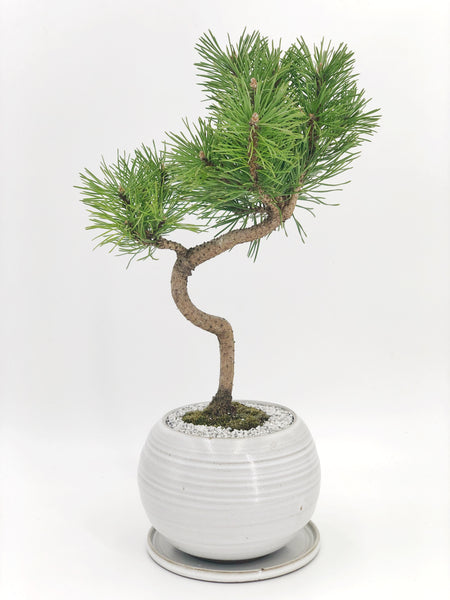 Mugo Pine Bonsai The Bonsai Shop Dandy Farmer
