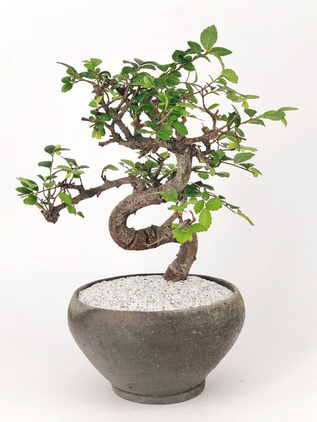 'Zen' the Japanese Elm Tree - Teppatsu