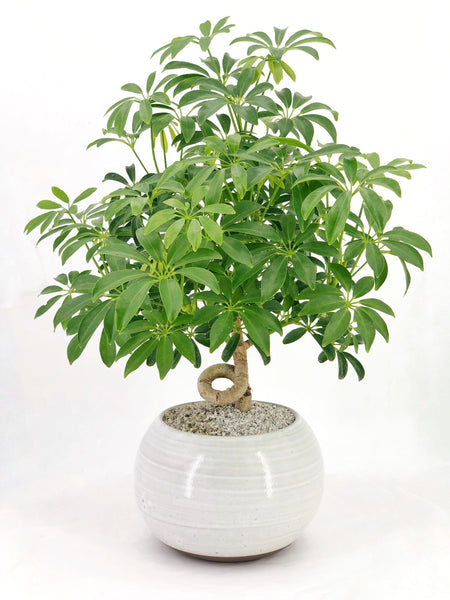 'Cosmo' the Dwarf Umbrella Tree - #129
