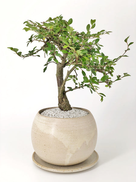 'Merlin' the Japanese Elm