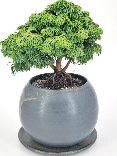 'Charlie' the Hinoki Cypress