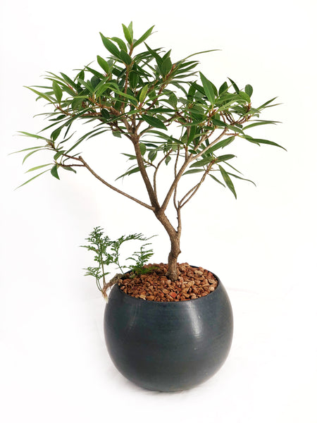 'Nora' the Willow Leaf Fig - #168