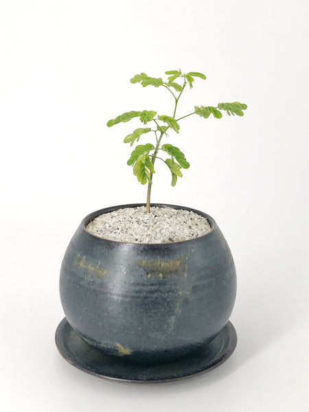 'Baby Gilly' the Brazilian Rain Tree