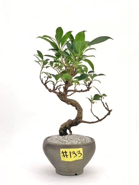 'Hal' the Banyan Tree - Teppatsu - #133