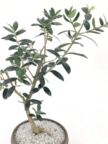 'Olivia' the European Olive Tree - #198
