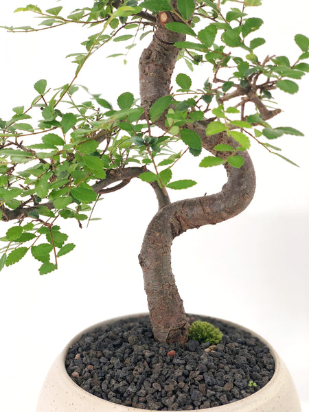 'Zen' the Japanese Elm - #161