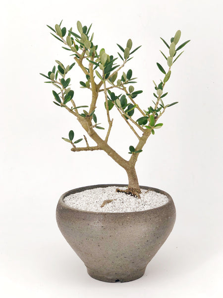 'Olivia' the European Olive Tree