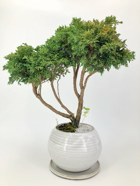 'Marge' the Hinoki Cypress