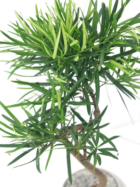 'Podrik' the Buddhist Pine - #157