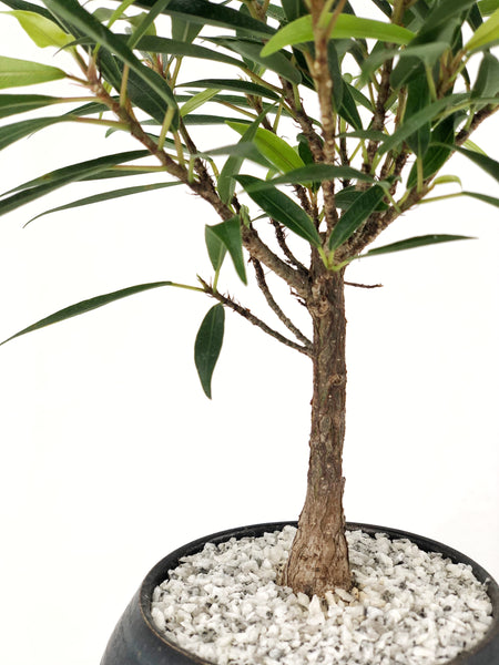 'Nene' the Willow Leaf Fig