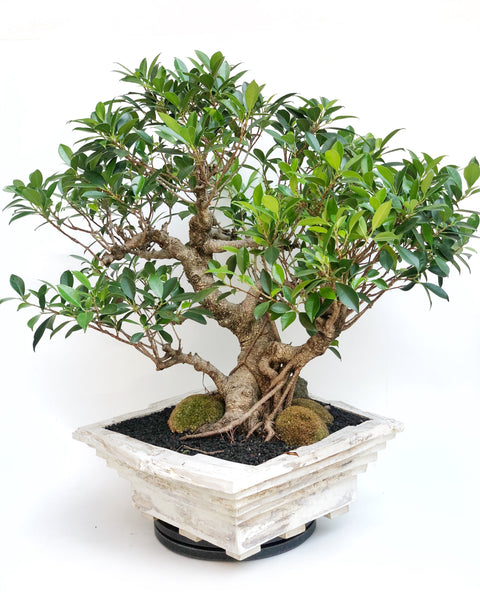 Specimen Chinese Banyan Tree The Bonsai Shop Dandy Farmer