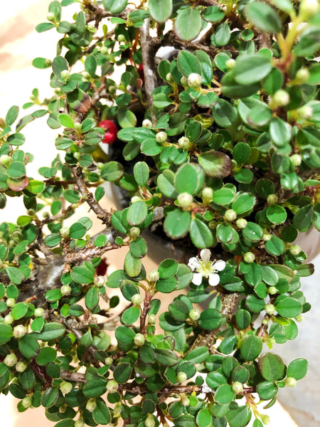 'Ava' the Cotoneaster