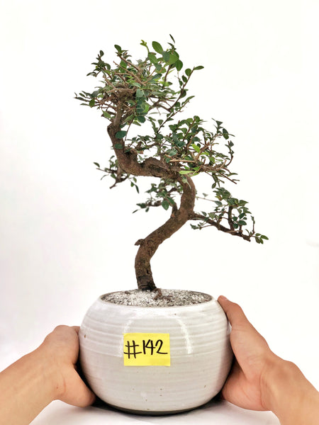 'Zen' the Japanese Elm - #142
