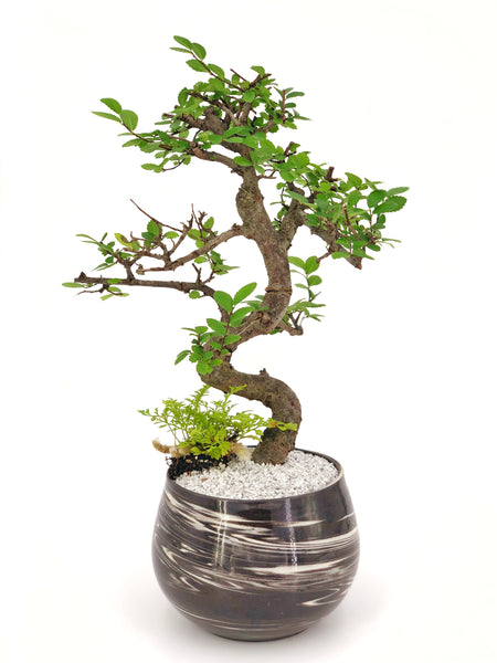 'Zen' the Japanese Elm Tree - Marbled Gray Planter