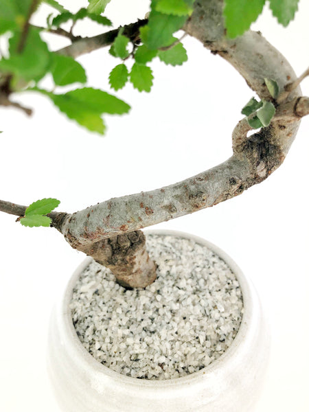 'Zen' the Japanese Elm