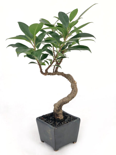 'Hal' the Chinese Banyan Tree - Saitama Square Planter - #176
