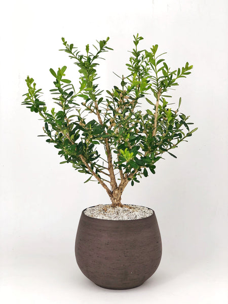 'Fei' the Chinese Boxwood