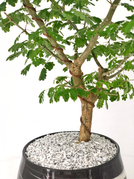 'Gilly' the Brazilian Raintree - #162