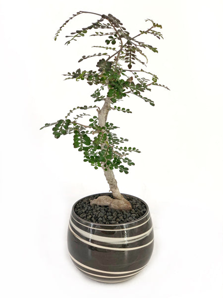 'Wyatt' the Operculicarya Decaryi Elephant Tree - #219