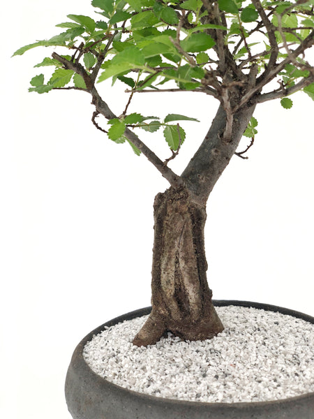 'Merlin' the Japanese Elm - Teppatsu