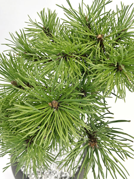 'Fred' the Mugo Pine