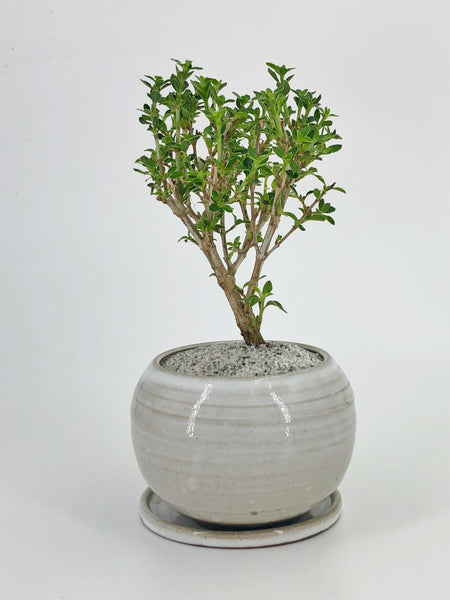 'Fumi' the Kyoto Serissa