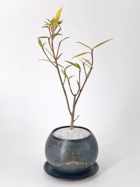 'Baby Nora' the Willow Leaf Fig