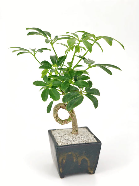 'Cosmo' the Dwarf Umbrella Tree - Saitama Square Planter