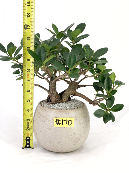 'Tig' the Green Island Fig - #170