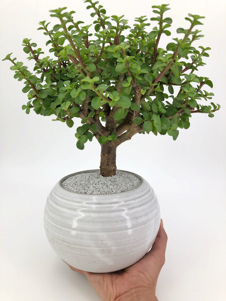 'Jadé' the Dwarf Jade