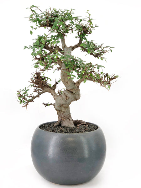'Zen' the Japanese Elm - #207