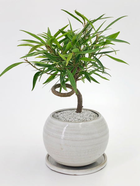 'Nora' the Willow Leaf Fig