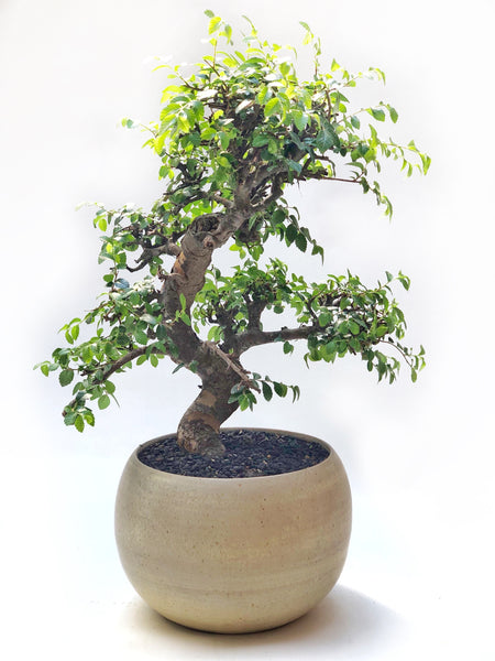 'Zen' the Japanese Elm - #226
