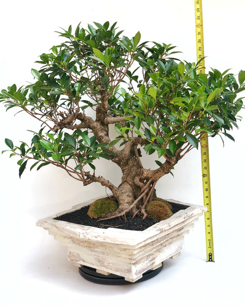 'Hal' the Chinese Banyan - Specimen Bonsai