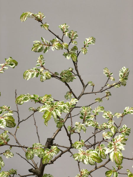 'Kento' the Variegated Lacebark Elm - #117