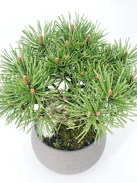 'Mugs' the Mugo Pine