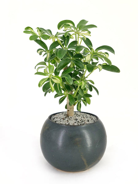 'Boba' the Variegated Dwarf Umbrella Tree