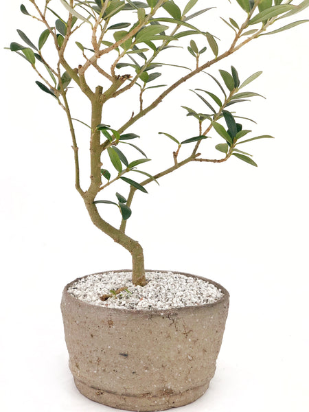 'Olivia' the European Olive Tree - #199