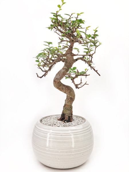 'Zen' the Japanese Elm - #206