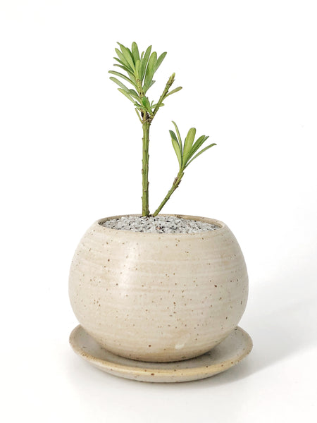 'Baby Podrik' the Buddhist Pine