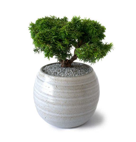 Abbott's Pygmy Canadian Hemlock Bonsai Tree